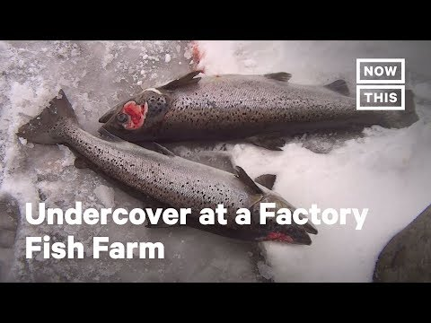 Undercover Footage Reveals 'Cruel' Factory Fish Farm | NowThis