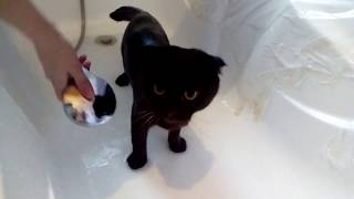 Кот аж мурчит от удовольствия в ванной  Этот кот любит купаться!Приколы над животными . Кот ,Прикол