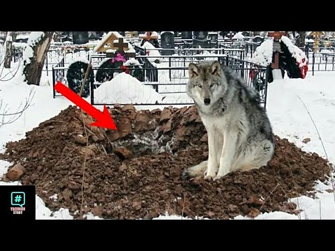 People couldn't understand why the wolf is digging this hole until they look closer