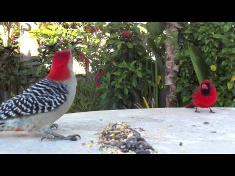 South Florida Backyard Birds in Royal Palm Beach - YouTube