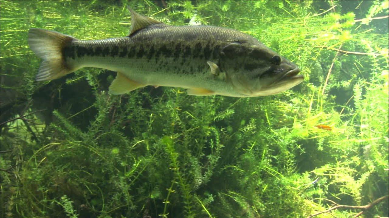 Glen Lau - Underwater Bass Video - YouTube Largemouth Bass Pictures Underwater