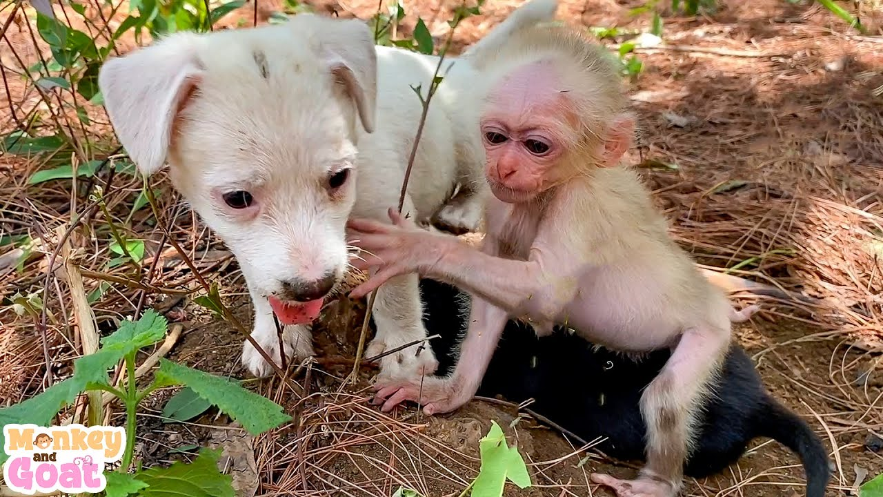 Baby monkey and 2 puppies playfully have fun together