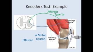 Knee Jerk Test