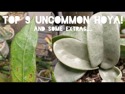 Download MY TOP 9 UNCOMMON HOYA - 9 of my current favourite Hoya!!