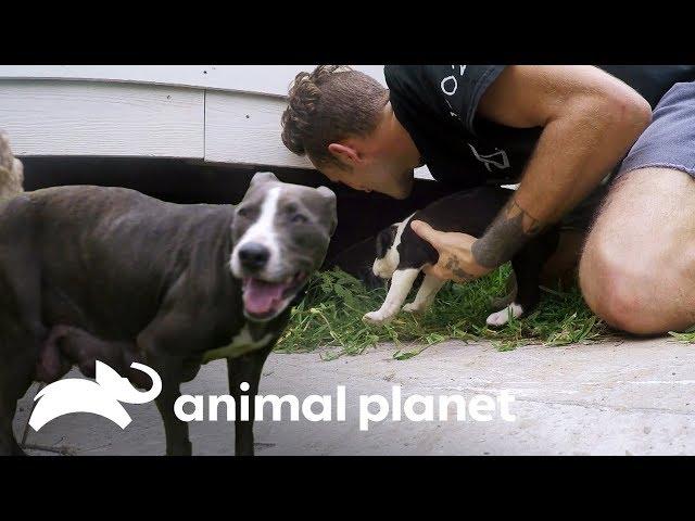 ¡Mamá desnutrida encuentra a sus cachorros! | Pit bulls y convictos | Animal Planet