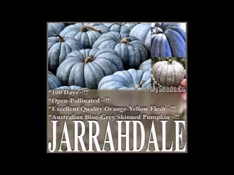 Jarrahdale Blue Pumpkin, Cucurbita maxima Seeds,  SEEDS on  www.MySeeds.Co