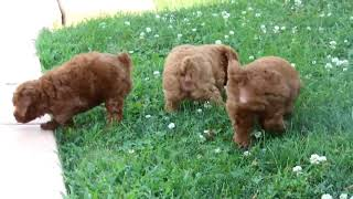 Miniature Poodle Puppies For S…
