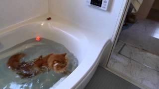 【マンチカンズ】猫がアヒルを追ってドボン~ A cat fell into the bath-tub 2~ thumbnail