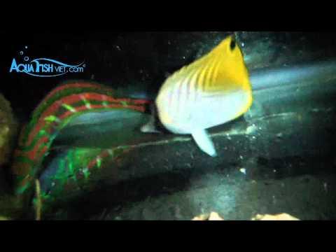Threadfin Butterflyfish (Chaetodon Auriga)    AquaFishViet.com