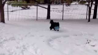 Cooper the Amazing Border Collie playing in the snow