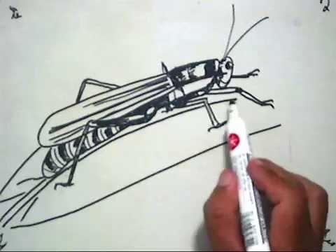 Cara Menggambar Belalang How To Draw A Grasshopper Youtube
