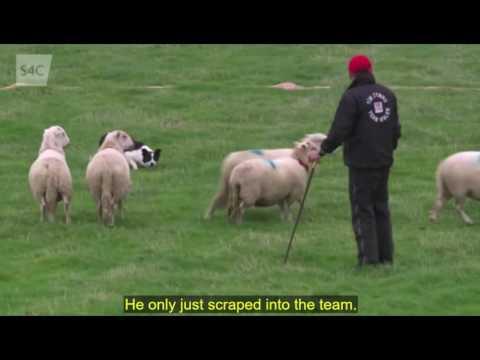 International Sheep Dog Trial 2016