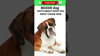 FACTS ABOUT BOXER DOGS YOU DIDN'T KNOW 129 #shorts