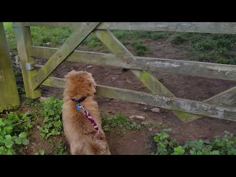 Sheep watch with Woofy part 1 (Norfolk Terrier)