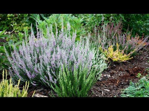 Как сажать верески Ошибки садоводов
