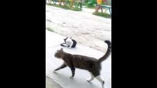 Спаривания кота и кошки.