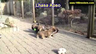 Lhasa Apso, Puppies, For, Sale, In, Minneapolis, Minnesota, MN, Inver Grove Heights, Roseville, Cott