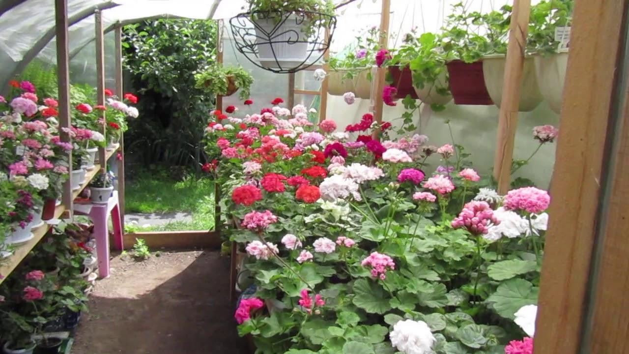 Тульские Пряничные Пеларгонии. Щедрое цветение в теплице. #пеларгония #пеларгониипочтой