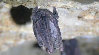 Колония летучих мышей в пещере Сулимова (Зубащенко). Краснодарский край, окрестности х. Кизинка
