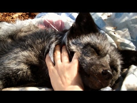 Girl pets fox (happiest pet fox)