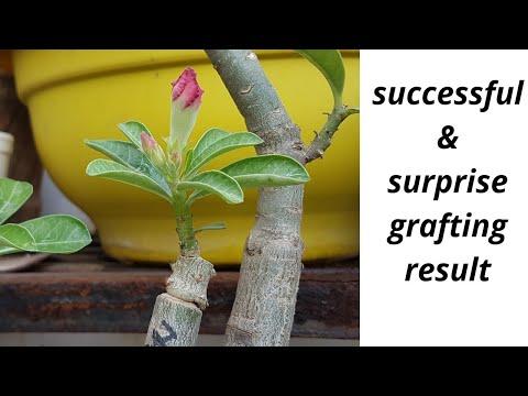 SUCCESSFUL & SURPRISED grafting result in ADENIUM plant.
