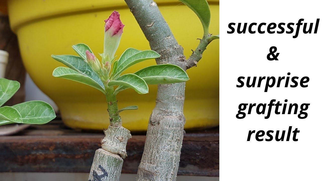 SUCCESSFUL & SURPRISED grafting result in ADENIUM plant