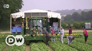 İngiliz tarım işçileri AB'den ayrılmaya karşı - DW Türkçe