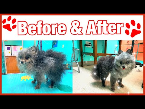 ✂️🐕Grooming a senior Pomeranian before and after 😱ONLY SCISSORING😱
