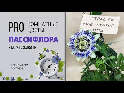 Как подружиться с пассифлорой | Цветок страсти в вашем доме | Страстоцвет