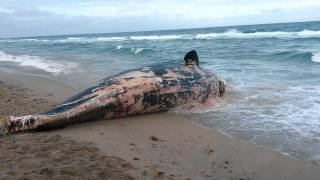Dead Beached Whale in Boca Raton Florida