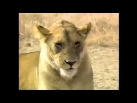 Full HD Documentary - Crater Lions of Ngorongoro African Animals Wildlife Full HD