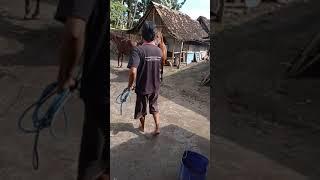 Part1 Kawin Kuda Belum Keluar Anunya Udah Mau Di Masukin