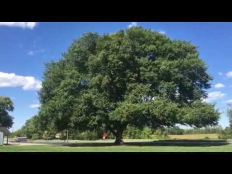 American Elm shivering in the breeze