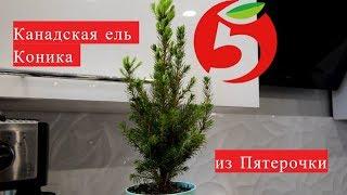 видео Ель Коника - уход в домашних условиях, фото растения
