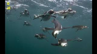 False Bay Superstars presents the African Penguin