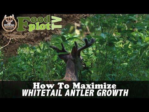 How To Maximize Whitetail Antler Growth