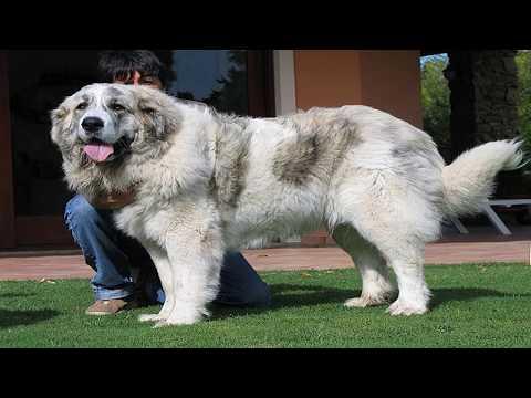 Pelea de perros Mastin de Pirineo Mascota o asesino