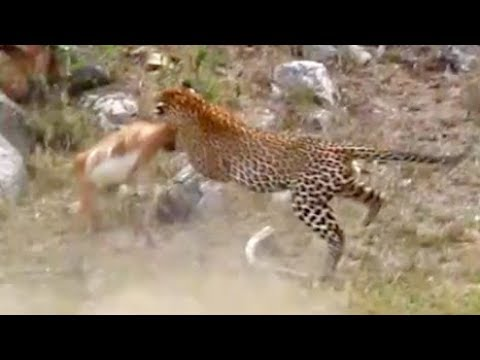 Leopard Catches Impala Mid-Air!