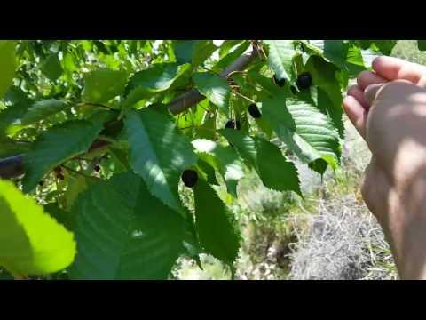 Fresh fruits of Hunza