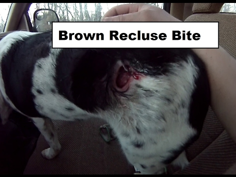Brown Recluse Bite On My Dog Youtube