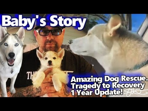 Baby's Story - Amazing Dog Rescue - 2 Siberian Huskies Dumped - Tragedy to Recovery 1 year update