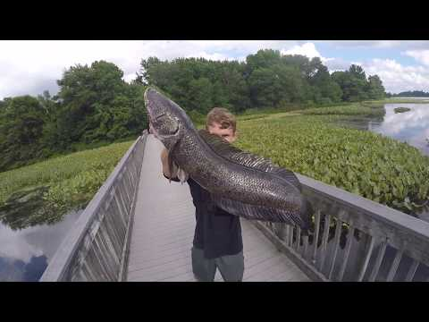 Fishing For Giant Snake Head And Bowfin + Flathead Catfish On Keitechs