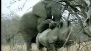 코뿔소 강간하는 코끼리