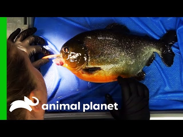 Piranha Needs Operation To Remove Growth From His Mouth | The Aquarium