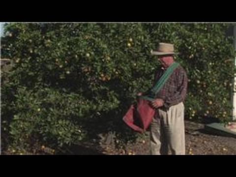 Growing Citrus Fruits : How to Harvest Citrus Fruit