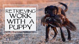 Labrador Retriever Teach Puppy To Retrieve