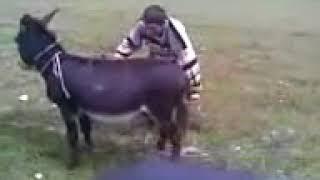 Как надо заводить осла.