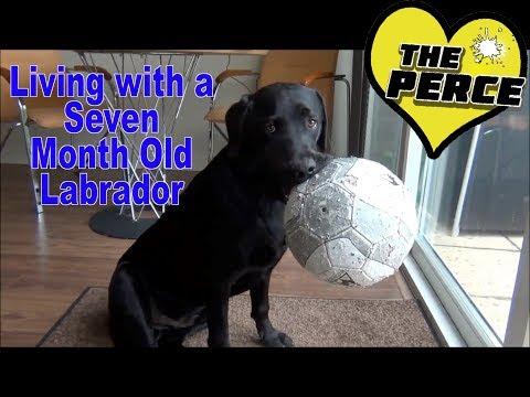 Puppy labrador 7 months - a week in the life of!