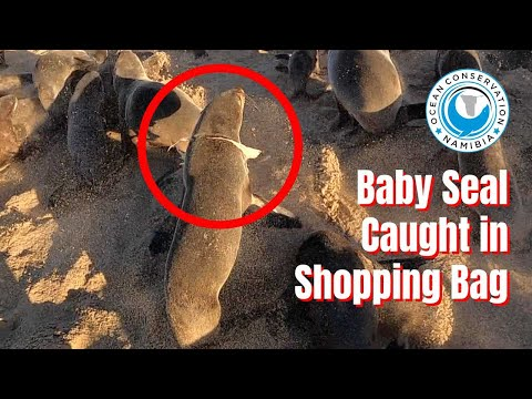 Baby Seal Caught in Plastic Shopping Bag