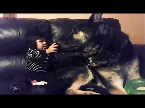 German Shepherd Dog Is the Best Baby Sitter!